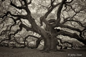 The Angel Oak stands on John's Island near Charleston SC. This Live Oak is over 1400 years old and is the oldest living thing east of the Rocky Mountains.